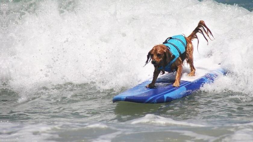 """Up to 70 """"surfurs"""" of all shapes, sizes and breeds will hit the waves and hang 20 at the annual Unleashed by Petco Surf Dog Competition. The event is much like a human surfing competition. Dogs will be scored on their top two waves in each heat. They are judged on length of ride, height of the wave, degree of difficulty, positioning and showmanship. - Carolina Gusman, U-T 8 a.m. to 2 p.m. Saturday. Imperial Beach Pier, Portwood Plaza, 10 Evergreen Ave., Imperial Beach. Free. surfdogevents.com (/ Petco)"""