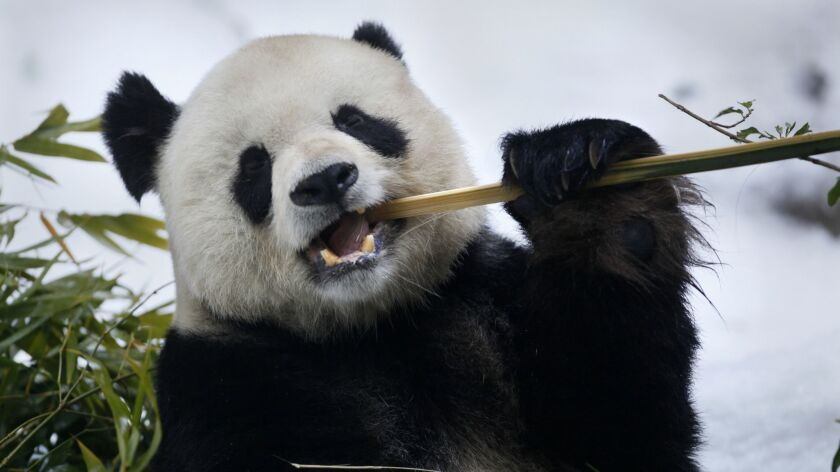 Gao Gao engages in his favorite pastime, eating bamboo, in 2013.