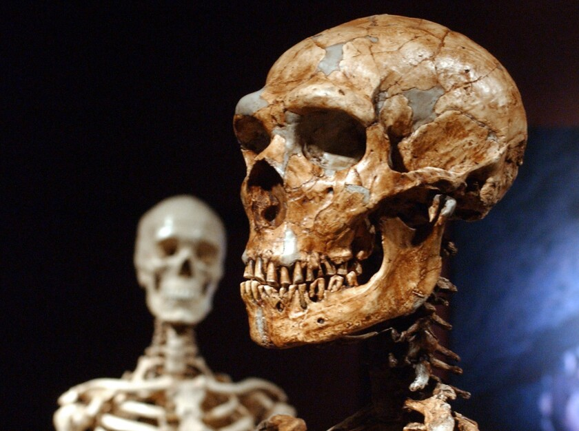 A reconstructed Neanderthal skeleton, right, against the backdrop of a modern human skeleton model.