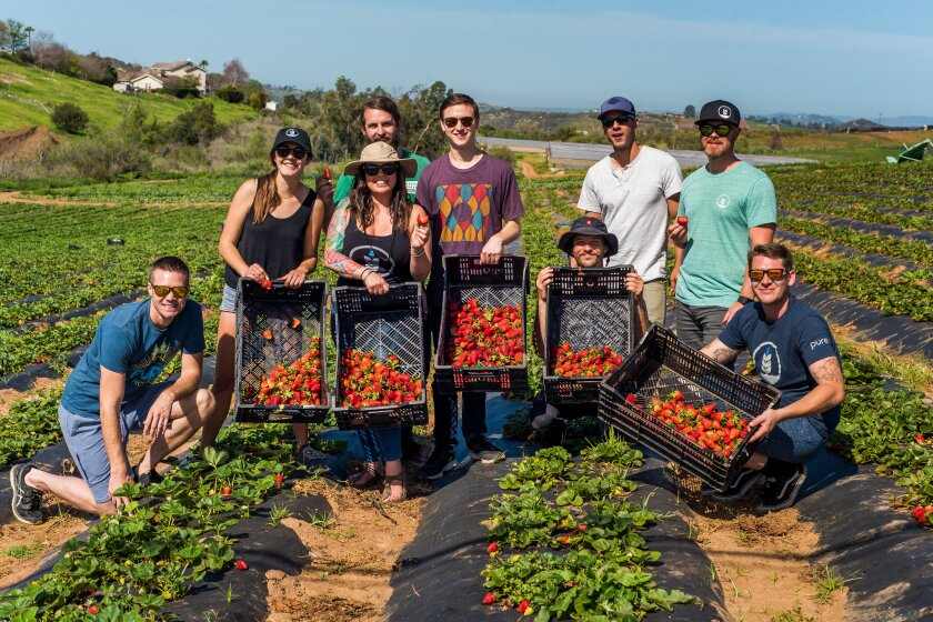 The Pure Project team, including Kiss My Glass guest Jesse Pine (second from right) picks strawberries to incorporate into specialty brews for its annual Strawberry Fest.