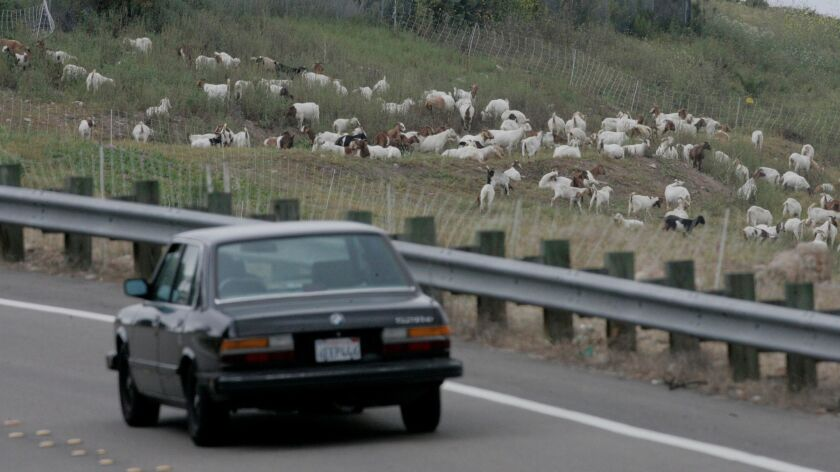 April 7, 2011, El Cajon, California-Over 200 goats are busy on a hillside on the north side of inter