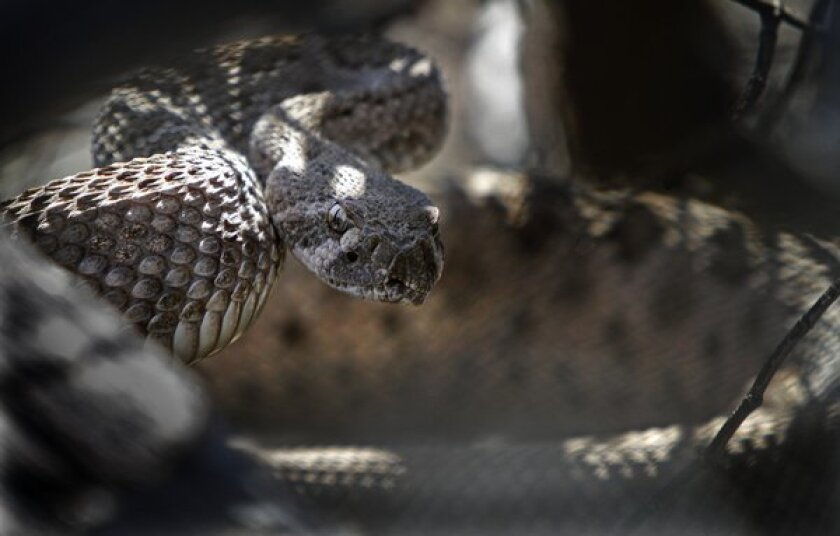 Human encounters with rattlesnakes increase in early summer months as the weather warms up and people spend more time outdoors, an L.A. County Fire Department spokesman said.