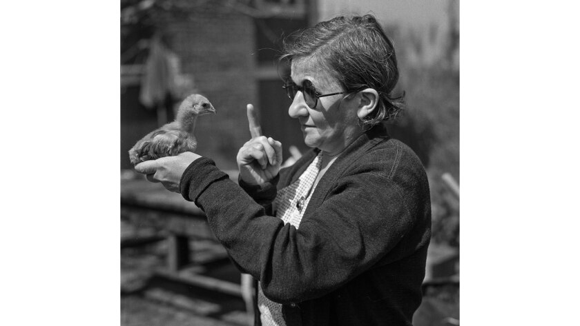 March 1936: Ella Zanow admonishes a chicken after one of her 75 chicks she raises poked her left eye