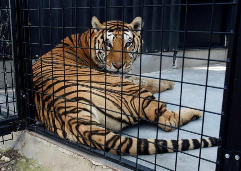 Vista de un tigre en una jaula. EFE/Archivo