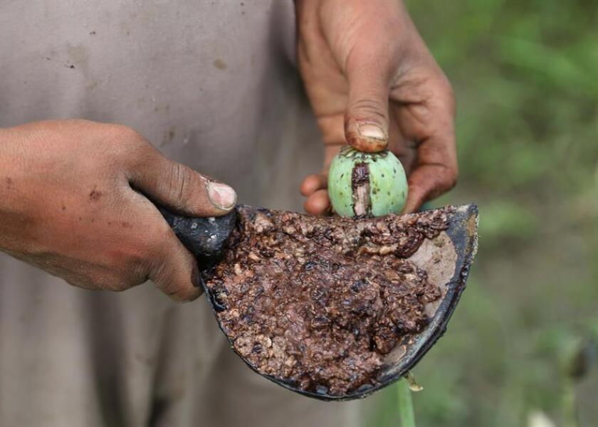 A man extracts raw opium from poppy buds. EFE/EPA/FILE