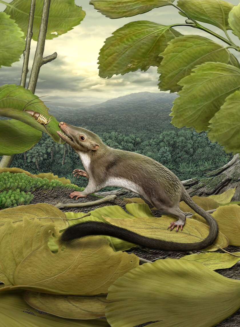 A scampering, hypothetical ancestor causes an evolutionary stir - Los  Angeles Times