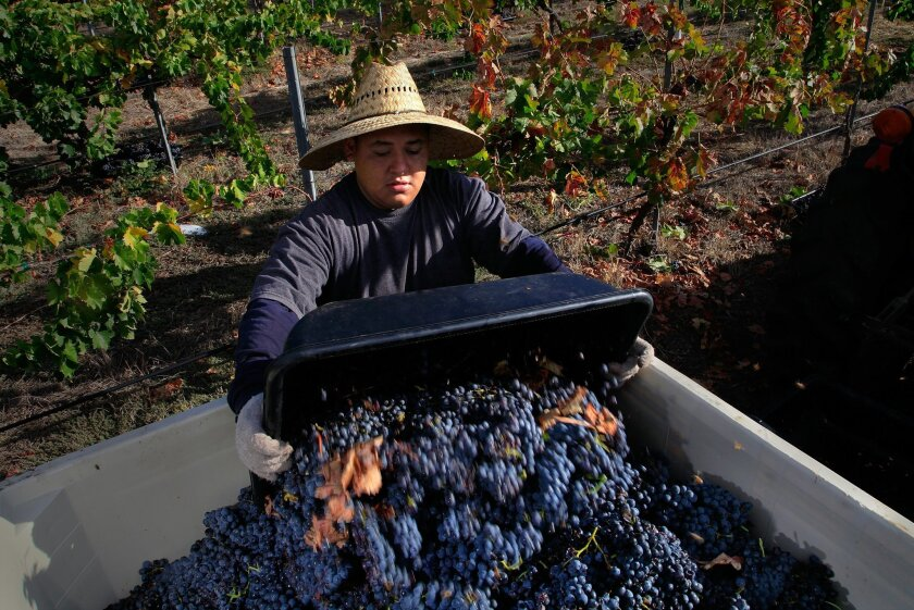 Vineyard worker Yobany Linares, 18, dumped grapes in to a large crate during the carignan grape harvest Friday at McCormick Ranch Vineyard, in Pauma Valley. The grapes will be made into a single-vrietal bottling for j° brix winery in Escondido.