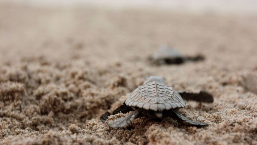 A newly hatched Olive Ridley sea turtle walks toward the surf at the beach in Sayulita.