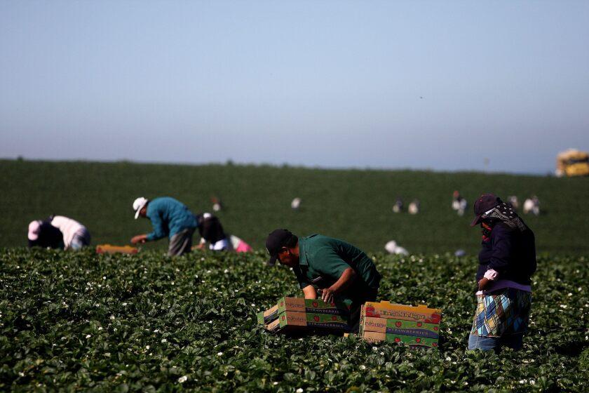 Imagen de marzo de 2011, de unos jornaleros de la localidad de San Quintín, en el estado mexicano de Baja California, durante la cosecha de fresa y que actualmente llevan semanas haciendo paros en protesta por sus condiciones laborales.