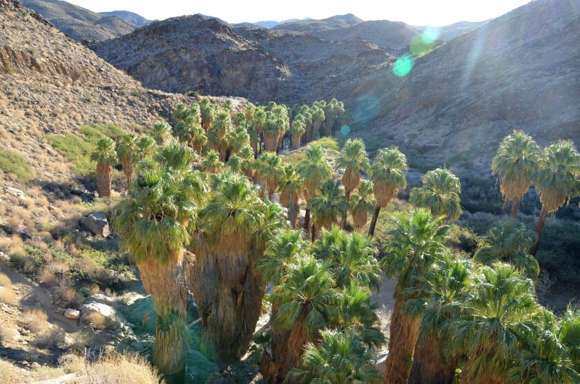 Palm Canyon's floor is shaded by some of the few native palm trees in all of Southern California.