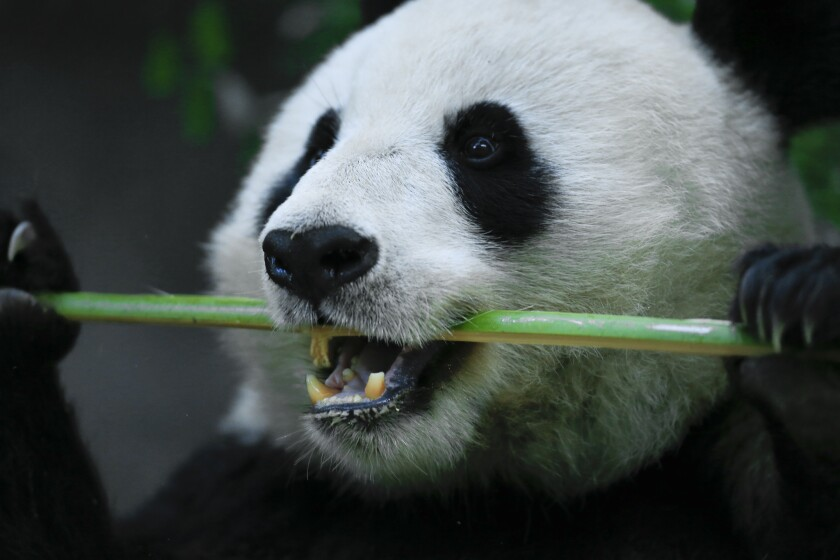 The giant pandas are a big hit at the San Diego Zoo. The Panda Trek houses four pandas that spend part of their day eating bamboo and playing and the other part sleeping.