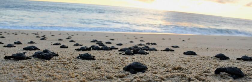 Hatchling sea turtle release, Todos Santos, Baja California Sur, Mexico.
