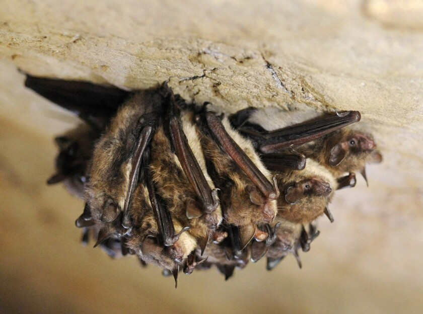 FILE - In this Dec. 16, 2011 file photo, a cluster of little brown bats hibernate in New Mammoth Cav