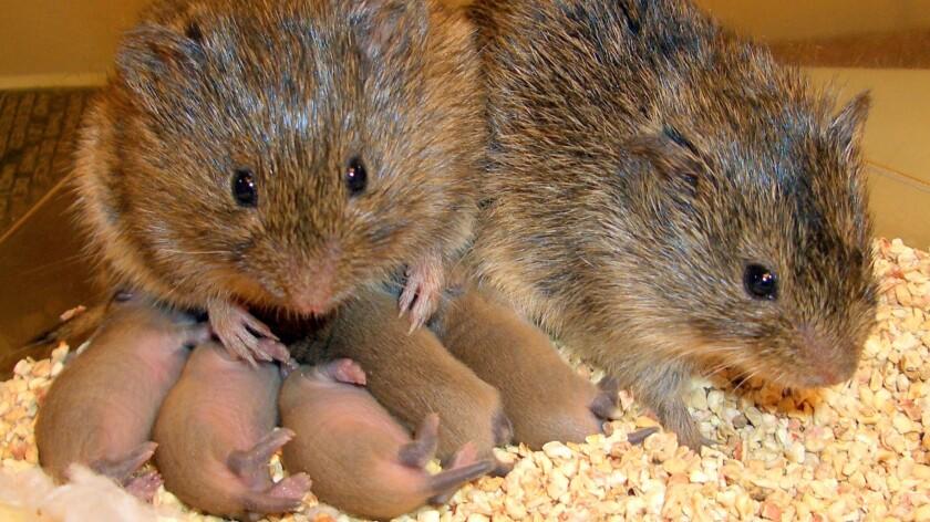 Prairie voles.