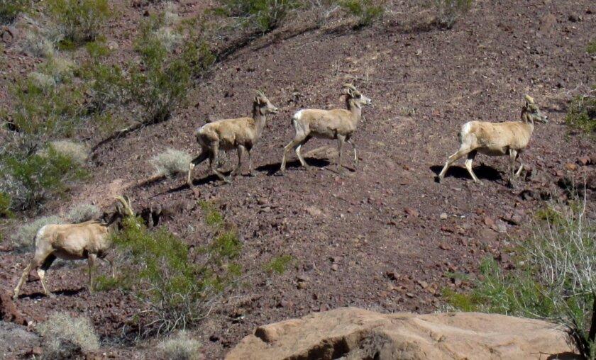 Bighorn sheep. File photo.