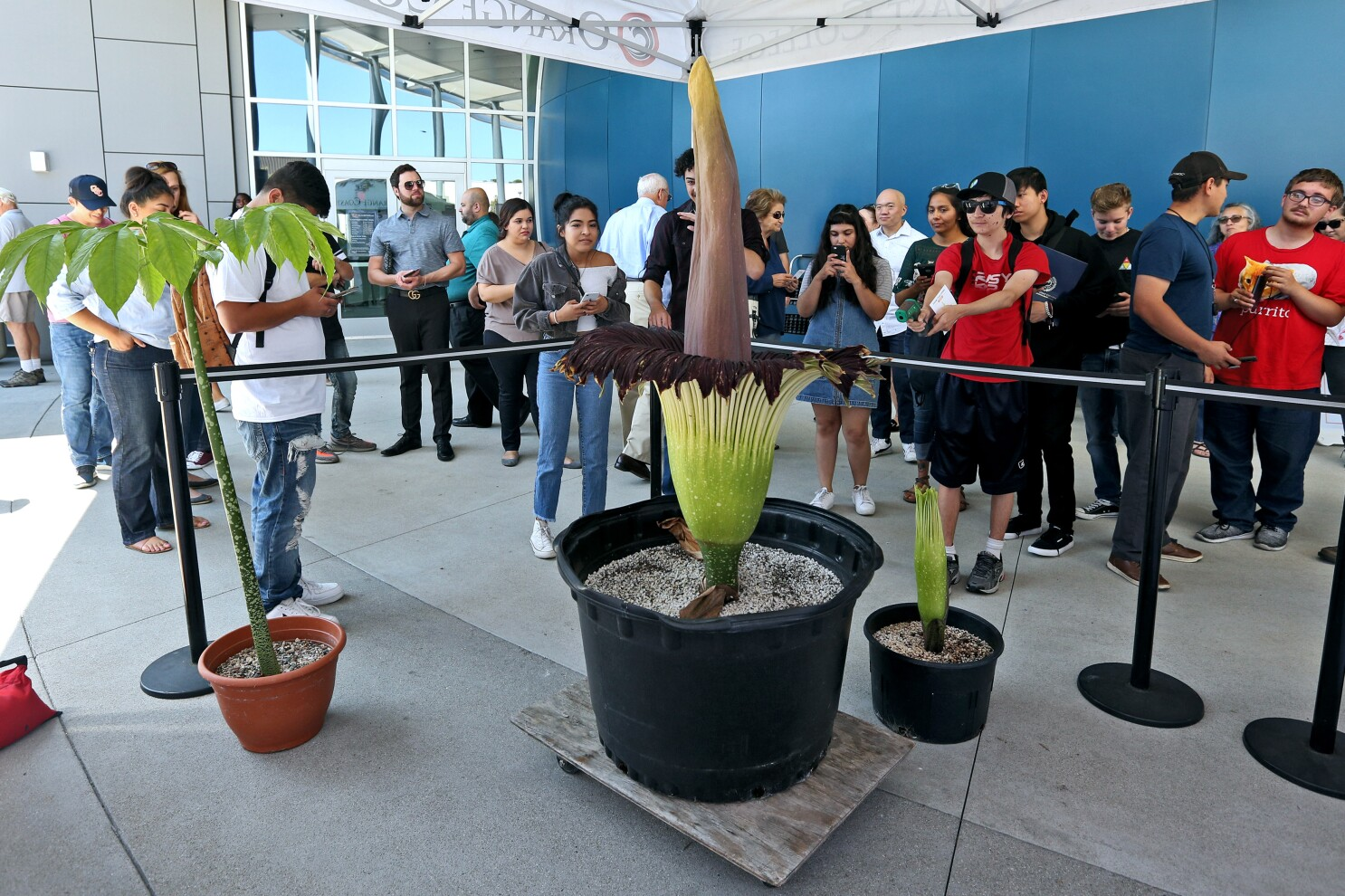 It's alive! Orange Coast College 'corpse flower' blooms — and stinks — to life
