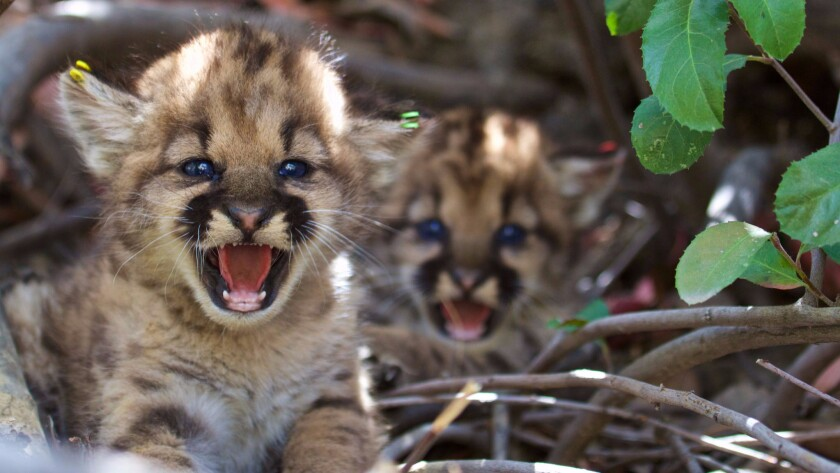 Two new litters of mountain lion kittens were found in the Santa Susana Mountains. These kittens were identified as P-48 and P-49.