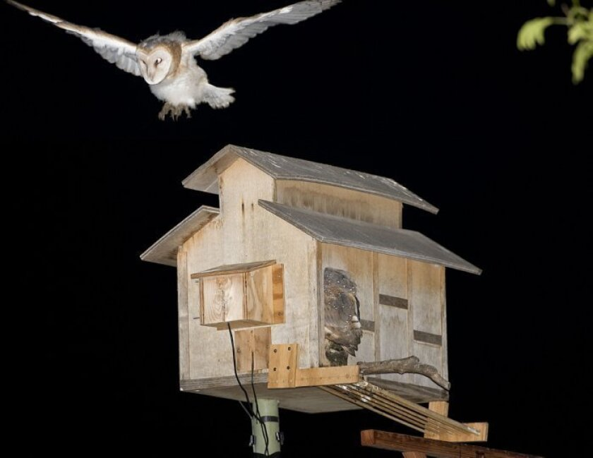 Pattison takes off from the roof of the owl box for the first time.