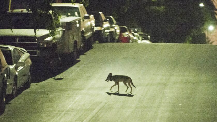 A coyote crosses a street in the densely populated Westlake neighborhood just west of downtown Los Angeles on July 16, 2015.