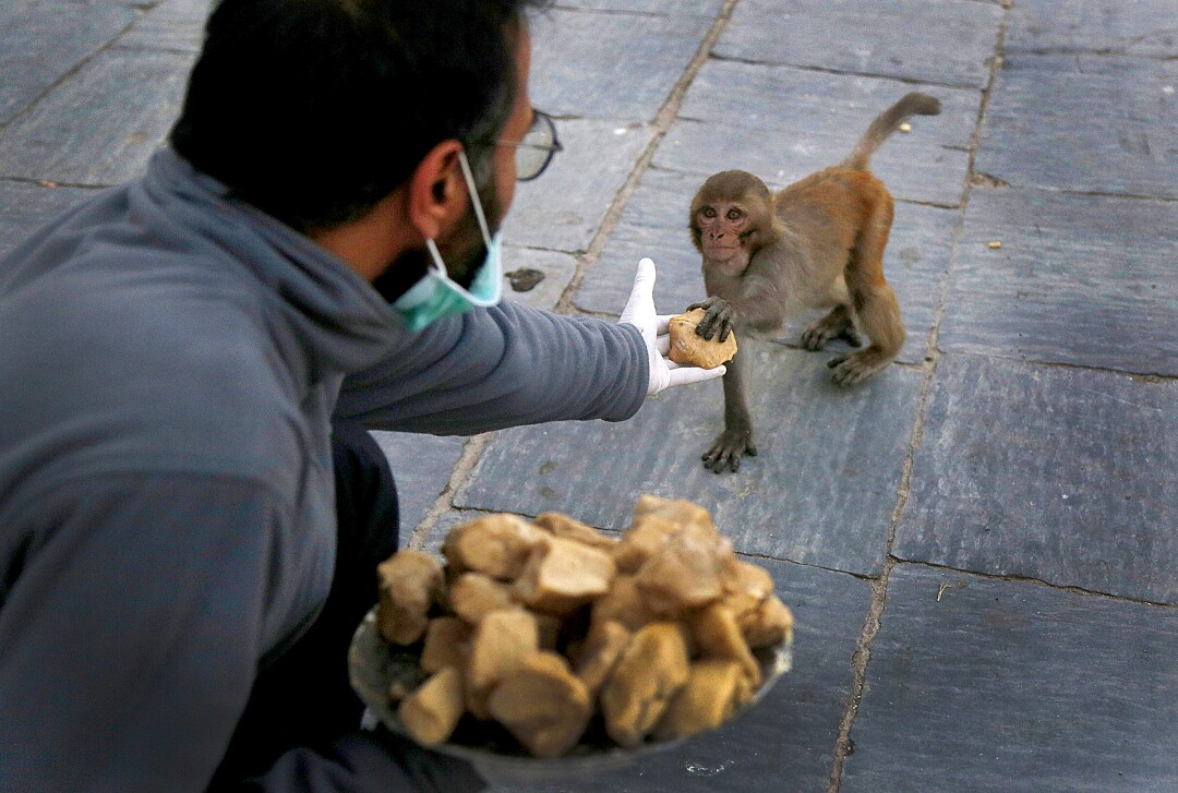 NEPAL: A Nepalese volunteer feeds monkeys March 31 at Pashupatinath temple, the country's most revered Hindu temple, during the lockdown in Kathmandu, Nepal. Guards, staff and volunteers are making sure animals and birds on the temple grounds don't starve during the country's lockdown.
