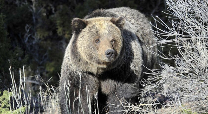 Officials investigate shooting of charging grizzly bear