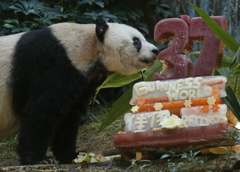 """Giant panda Jia Jia tastes her birthday cake made with ice and vegetables at Ocean Park in Hong Kong, Tuesday, July 28, 2015 as she celebrates her 37-year-old birthday. Jia Jia broke the Guinness World Records title for """"Oldest Panda Living in Captivity"""" on Tuesday. (AP Photo/Kin Cheung)"""