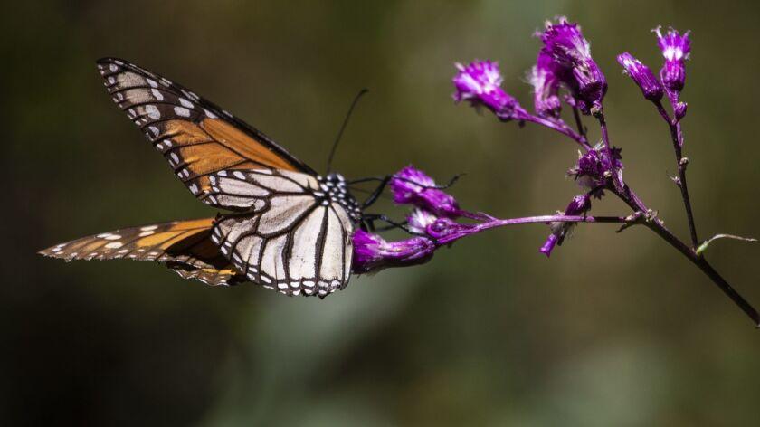 LA MESA, ESTADO DE MEXICO -- THURSDAY, FEBRUARY 21, 2019: A Monarch butterfly on a flower in the Mon