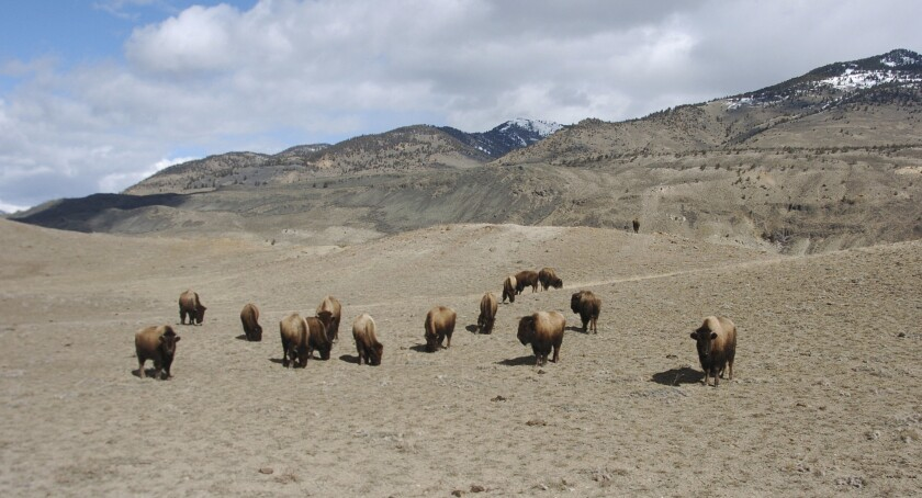 A small group of bison grazing at Yellowstone National Park near Gardiner,