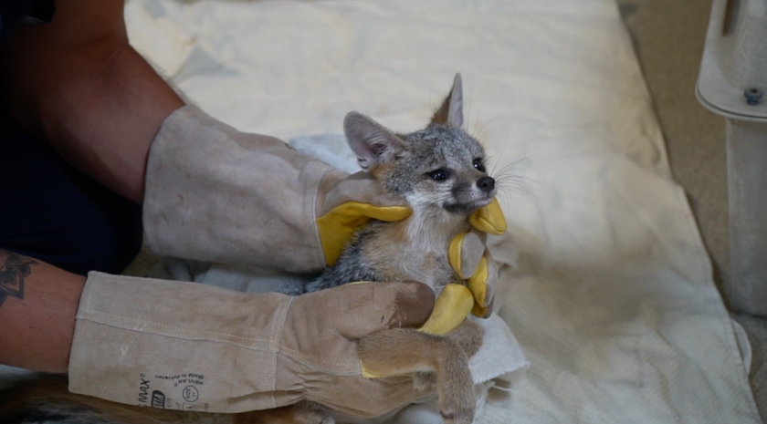 A gray fox that had been rescued and rehabilitated was released back to Mount Soledad.