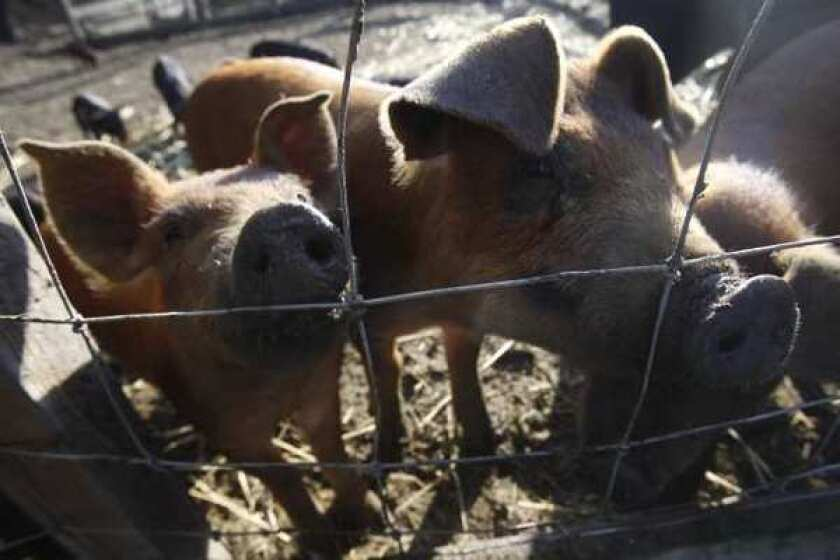 Swine flu strains could mutate and infect humans, study says