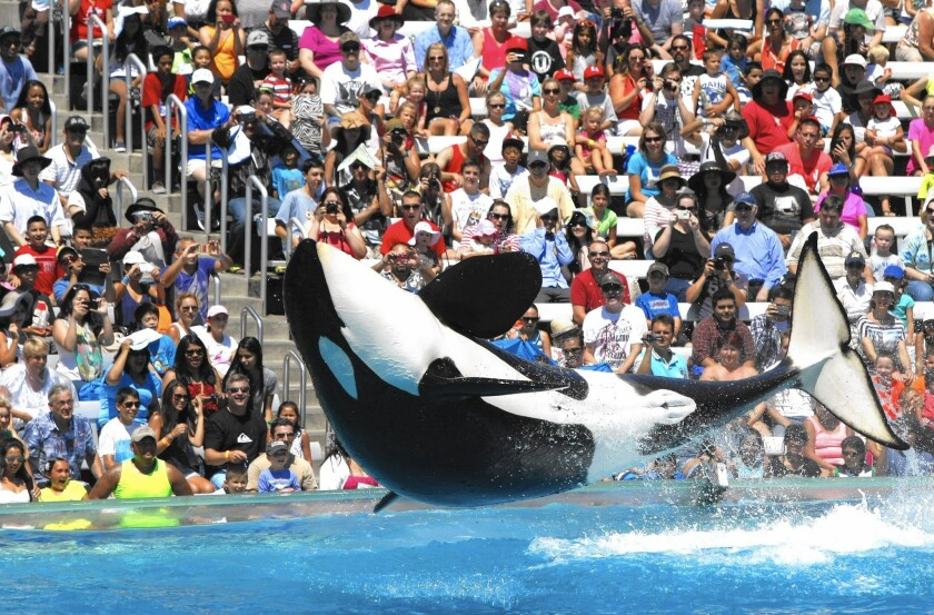 The twice-a-day killer whale shows are by far the biggest attraction at SeaWorld San Diego. Above, the crowd reacts to a trained orca at the park's Shamu Stadium in 2014.