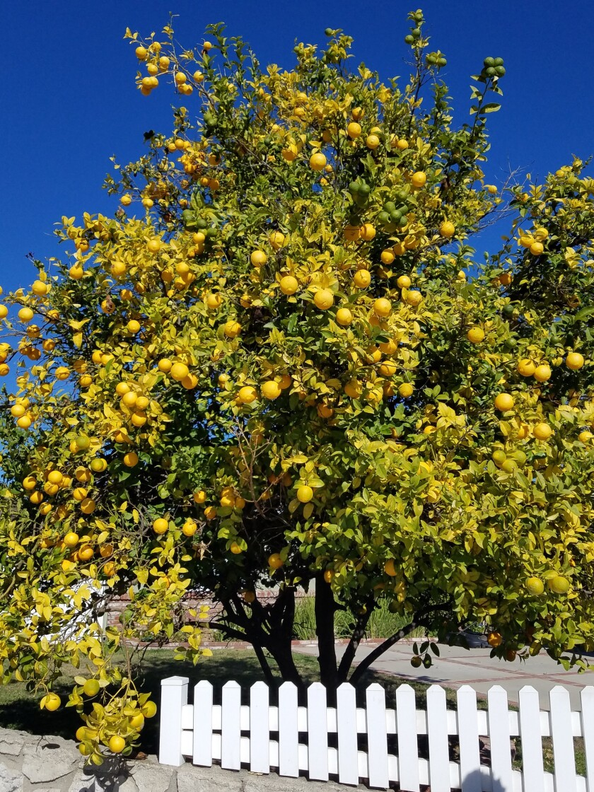 2Citrus tree in Santa Anas infected by Huanglongbing, a deadly citrus disease. Photo credit: F1K9