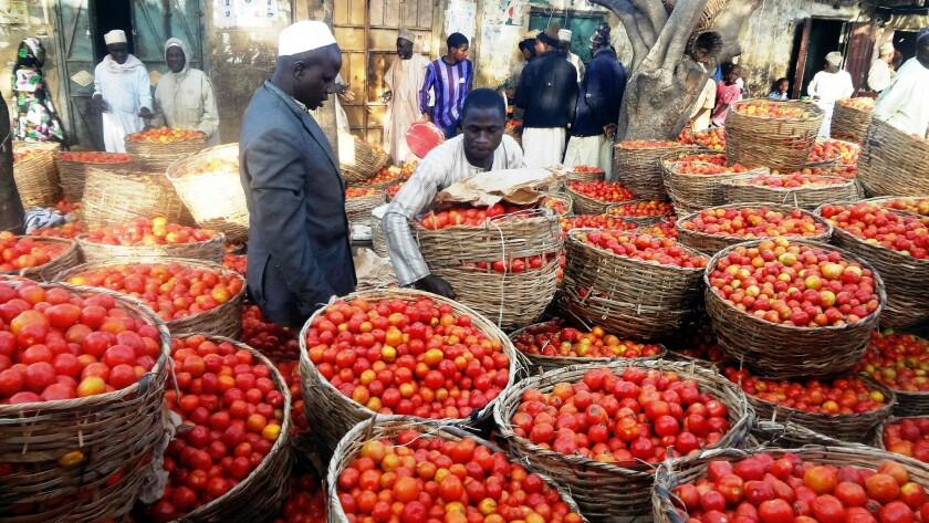 A trader sorts baskets of tomatoes at a market in the northern Nigerian city of Kano in January.