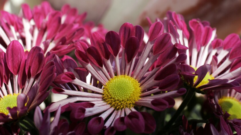 Chrysanthemums are blooming this time a year.
