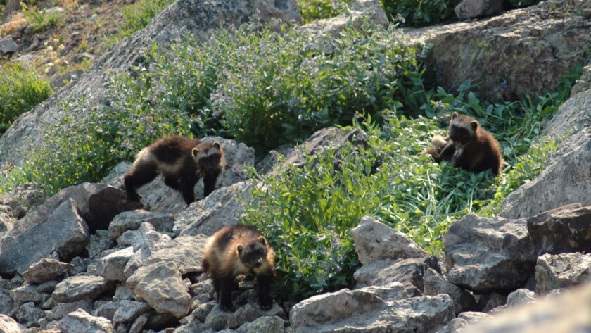 A female wolverine known to researchers as F121 is shown with two cubs in Montana. One cub is believed to have been M56, a male tracked by scientists for years.