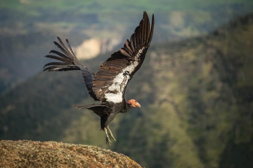 A California condor takes off from a rock at Pinnacles National Park.
