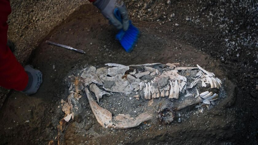 An archaeologist inspects the remains of a horse skeleton in the Pompeii archaeological site, Italy,