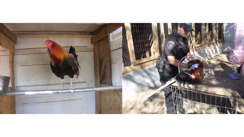 Officers bust illegal cockfighting operation