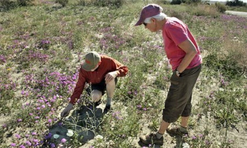 Mike Bigelow (left) and his wife, Jan, who this week checked out the wildflowers on Henderson Canyon Road in Borrego Springs, are volunteers at Anza-Borrego Desert State Park. (Laura Embry / Union-Tribune)