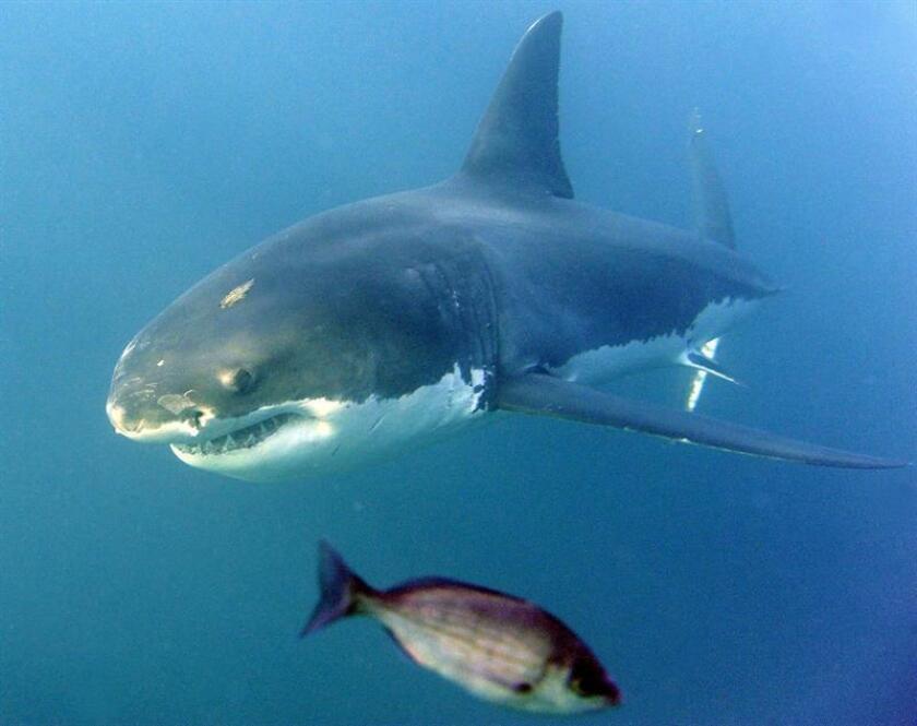 Fotografía de archivo (19/06/2010) en donde aparece un tiburón blanco (Carcharodon carcharias) nadando en aguas del Océano Índico, en Gansbaai, Sudáfrica. El número de ataques no provocados de tiburones a seres humanos descendió el año pasado, pese a que el hábitat de estos animales está cada vez más amenazado por la proliferación de las actividades recreativas acuáticas. En 2016 se registraron globalmente 81 ataques no provocados de tiburones a humanos, 17 menos que en 2015, y solo 4 de ellos fueron mortales, según el informe. EFE/ARCHIVO/Helmut Fohringer