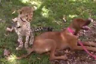 Cheetah and dog are pals