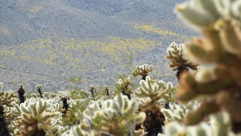 Cholla Cactus Garden is along Pinto Basin Road in the middle of Joshua Tree National Park. The hills