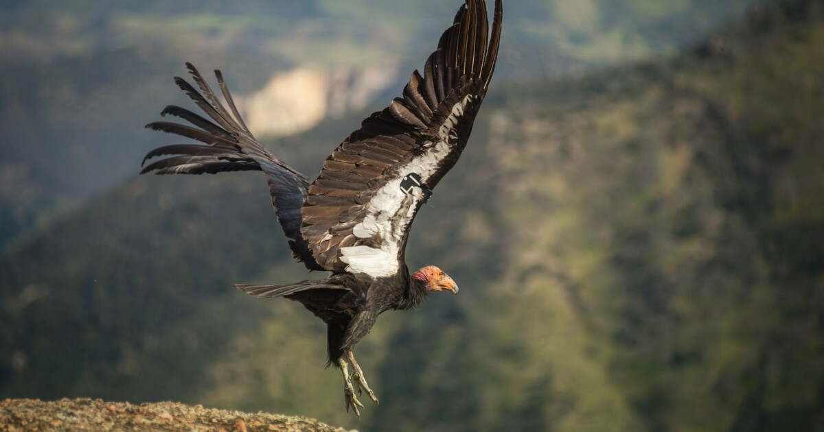 Editorial: California condors pass another milestone on the road to recovery