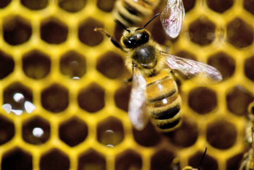 The White House on Tuesday released a national strategy to address precipitous declines in the population of honeybees, which are crucial to pollinating food crops.