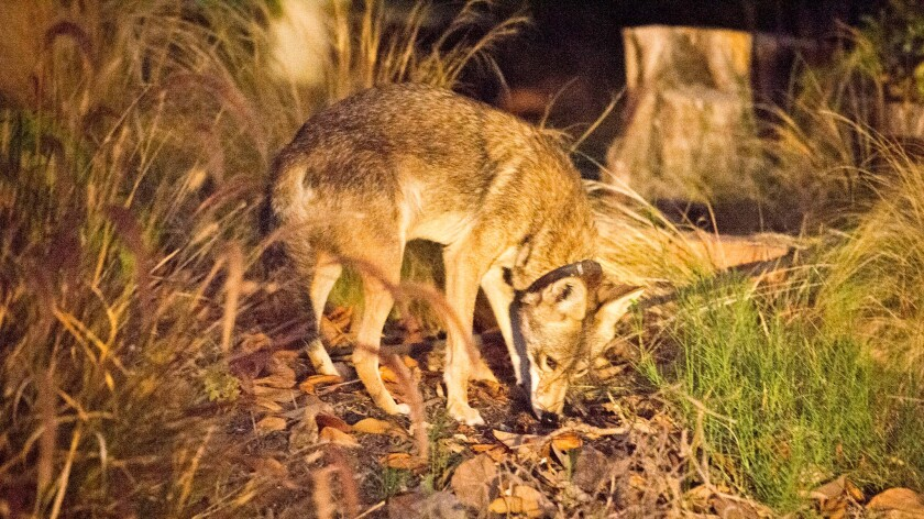'C-145,' a male coyote with a home range mostly in the Silverlake neighborhood, is photographed on July 16, 2015.