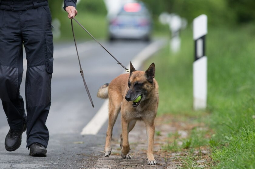 Sniffer dog Sunny and dog handler Ulrich Hitzemann look for traces on a street in Hoexter Germany, Monday, May 23, 2016. Police with sniffer dogs are searching a road in western Germany for traces of the remains of a woman believed to have been killed and dismembered two years ago by a couple also suspected in another death. Officers on Monday searched a 2-kilometer (1 1/4-mile) stretch of road near the home of the suspects outside the town of Hoexter. They are looking for tooth or bone fragments from the victim. (Friso Gentsch/dpa via AP)