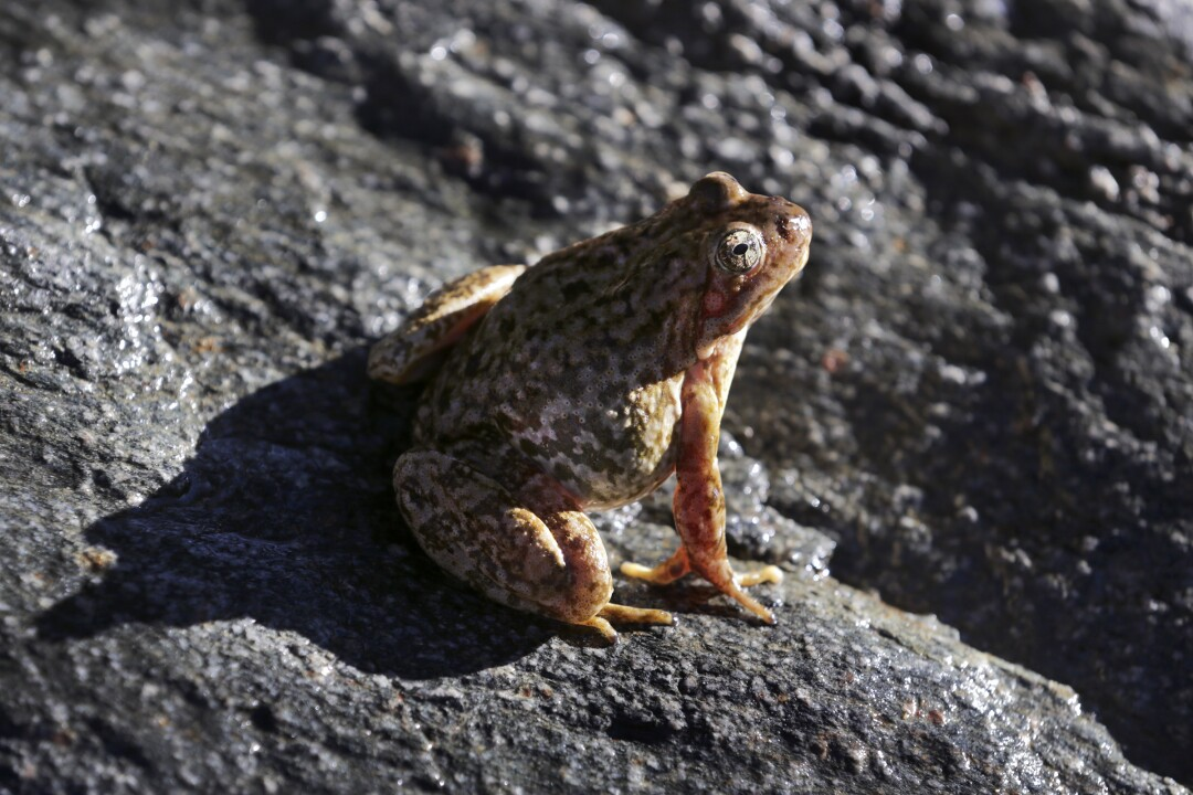 An endangered yellow-legged frog sighted near Wrightwood in the San Gabriel Mountains.
