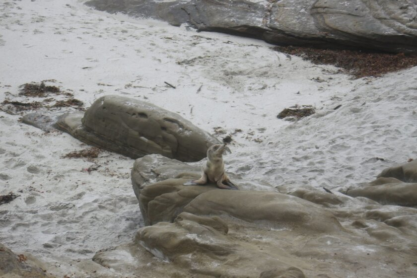 This malnourished pup, found at Windansea beach on April 15, appears to be part of what National Marine Fisheries calls 'an unusual mortality event,' as they are having difficulty finding food and starving. Ashley Mackin