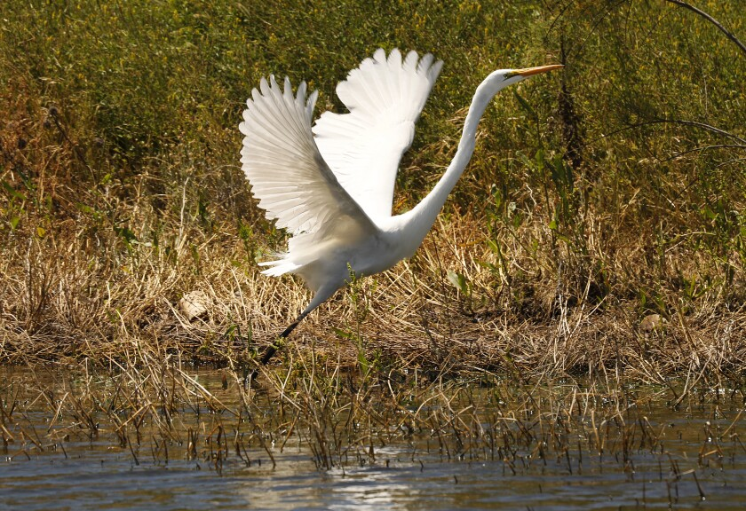 An egret takes flight at Cachuma Reservoir.