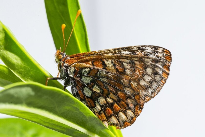 A Quino checkerspot butterfly.